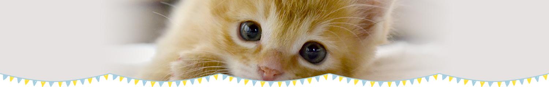 ふれあい猫カフェ併設の仔猫・猫さん 専門店「koneconeko」のグリくん(マンチカン)