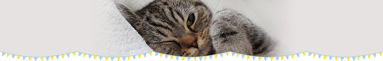 ふれあい猫カフェ併設の仔猫・猫さん 専門店「koneconeko」の★セルカークレックス|女の子|大阪|お嫁さんに行きました